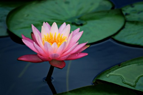 A pink lotus flower and lily pads with saturated color