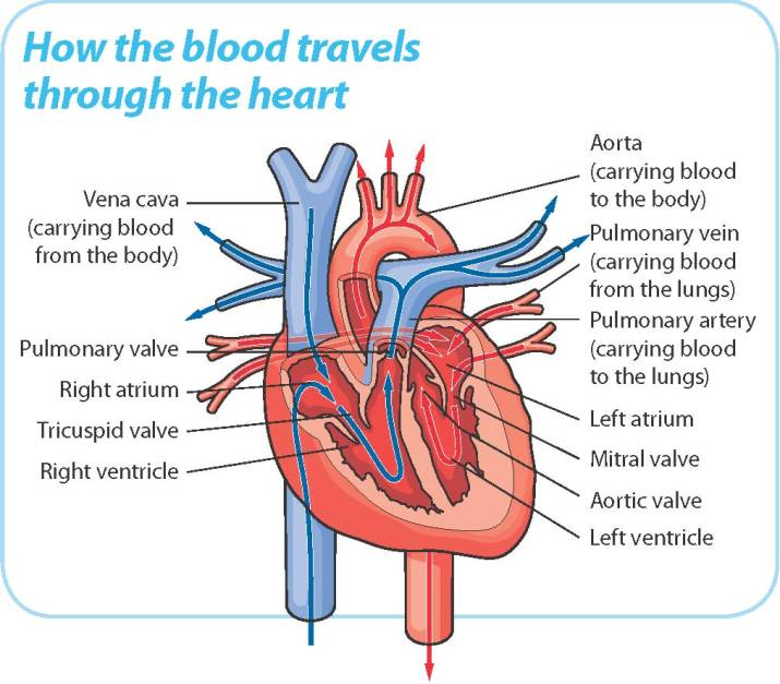 Understanding your heart do yoga heart diagram ccuart Images