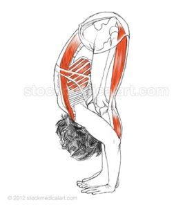 Uttanasana - Standing forward bend
