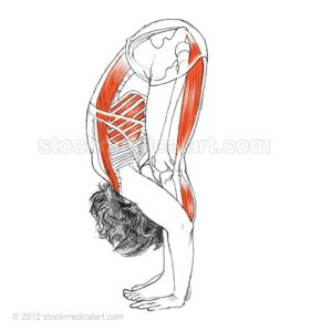 Uttanasana - Standing forward bend