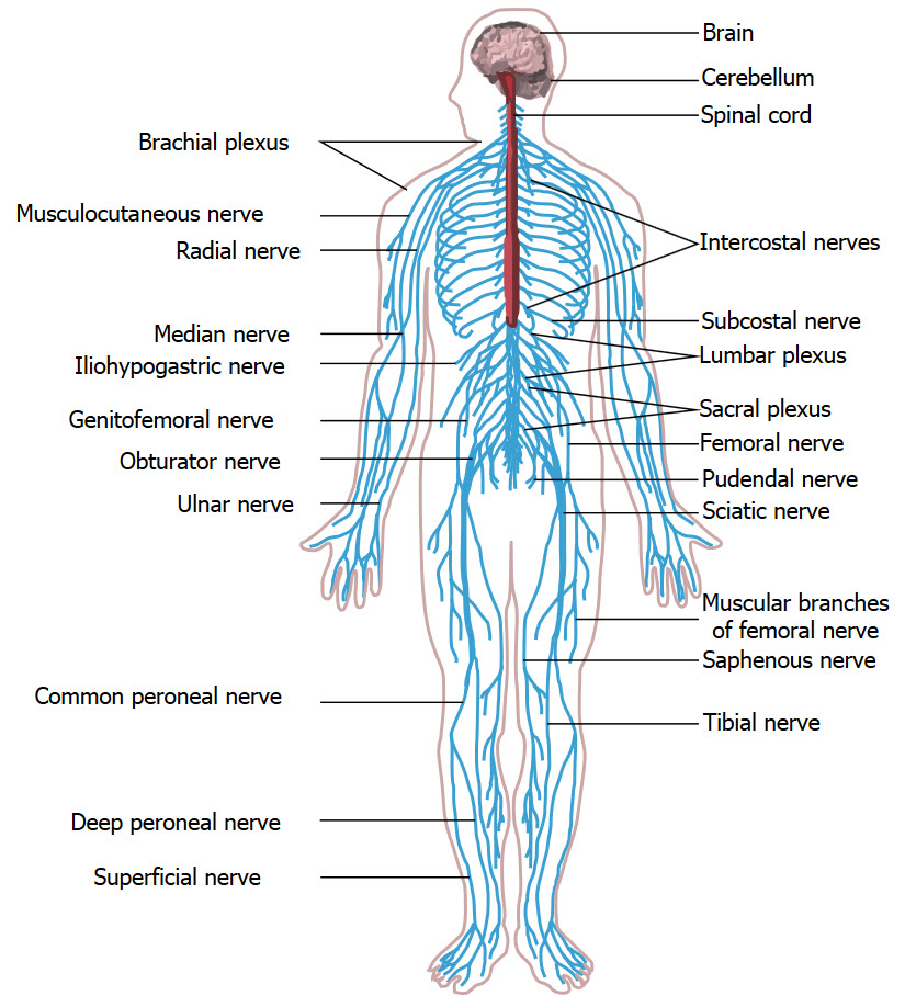 Blank Human Body Muscular System Diagram Worksheet as well Ppt4 18357993 in addition 2723216 furthermore Sistema Cardiovascular Anatomia 919155218349 moreover Epitelio simple plano. on simple cardiovascular system