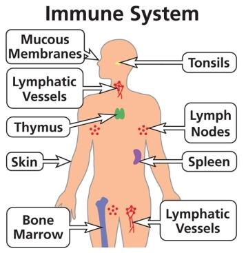 Immune-System-600